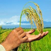 arroz en mano